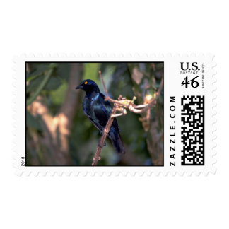 Cape Glossy Starling Stamp