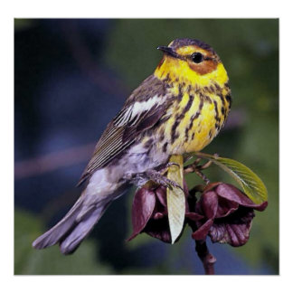 Cape May Warbler Bird Lovers Poster