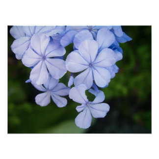 Cape plumbago posters