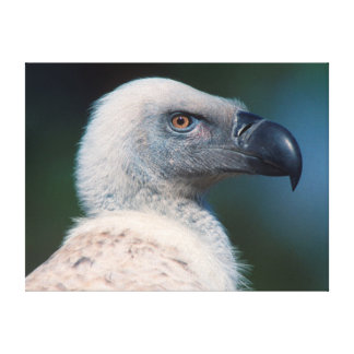 Cape Vulture (Gyps Coprotheres) Profile Canvas Print