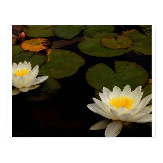 Capistrano Water Lily Postcard