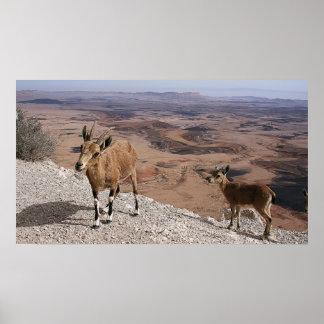 Capra desert goats Ramon crater landscape view Poster