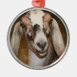 Caprine blanco de la raya de la gama de la cabra d ornato