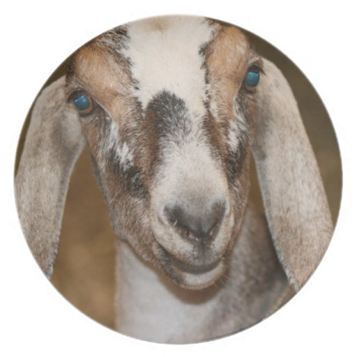 Caprine blanco de la raya de la gama de la cabra d plato de comida