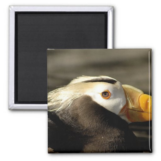 Captive Crested Puffin, Alaska Sealife Center, Magnet