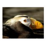 Captive Crested Puffin, Alaska Sealife Center, Post Card