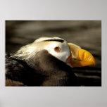Captive Crested Puffin, Alaska Sealife Center, Poster