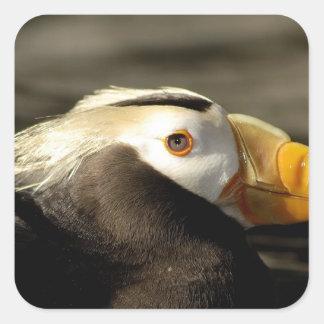 Captive Crested Puffin, Alaska Sealife Center, Square Sticker