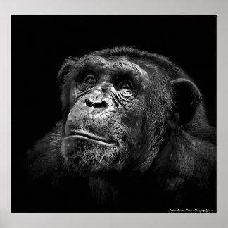 """Captive Exposure"" Wildlife Chimp Artwork Canvas Posters"