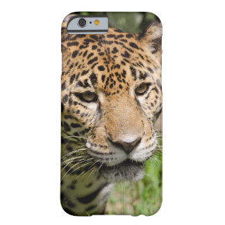 Captive jaguar in jungle enclosure 2 barely there iPhone 6 case
