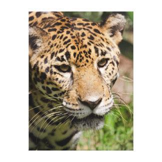 Captive jaguar in jungle enclosure 2 gallery wrapped canvas