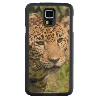Captive jaguar in jungle enclosure 2 carved® maple galaxy s5 case