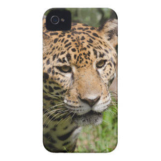 Captive jaguar in jungle enclosure 2 Case-Mate iPhone 4 case