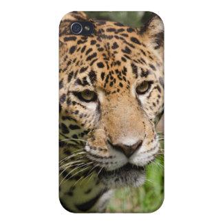 Captive jaguar in jungle enclosure 2 iPhone 4 cover