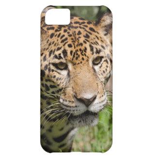 Captive jaguar in jungle enclosure 2 iPhone 5C cover
