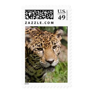 Captive jaguar in jungle enclosure 2 postage stamp