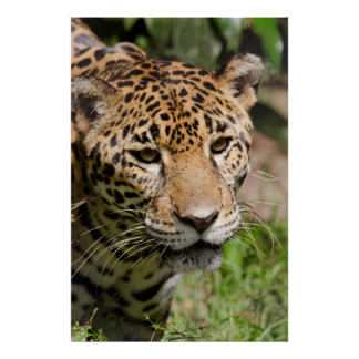 Captive jaguar in jungle enclosure 2 poster