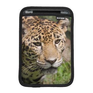 Captive jaguar in jungle enclosure 2 sleeve for iPad mini