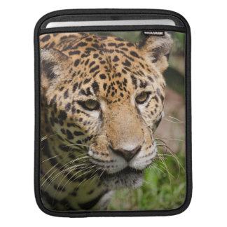 Captive jaguar in jungle enclosure 2 sleeve for iPads