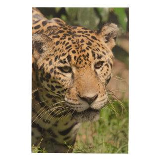 Captive jaguar in jungle enclosure 2 wood canvases