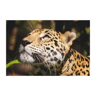 Captive jaguar in jungle enclosure 3 gallery wrapped canvas
