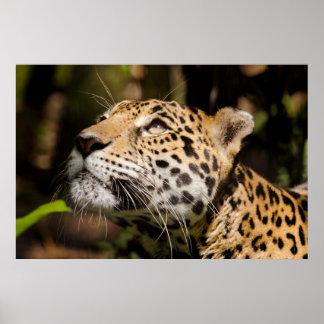 Captive jaguar in jungle enclosure 3 posters