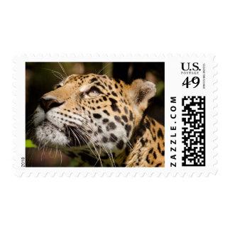 Captive jaguar in jungle enclosure 3 stamp