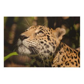 Captive jaguar in jungle enclosure 3 wood canvas