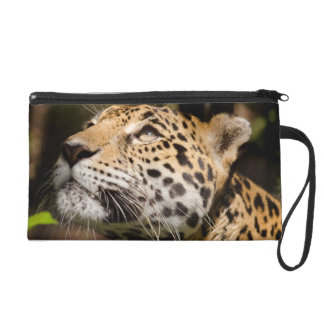 Captive jaguar in jungle enclosure 3 wristlet