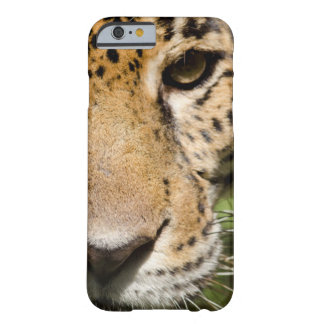 Captive jaguar in jungle enclosure barely there iPhone 6 case