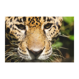 Captive jaguar in jungle enclosure gallery wrapped canvas