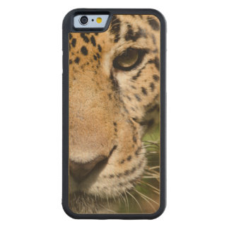 Captive jaguar in jungle enclosure carved maple iPhone 6 bumper case