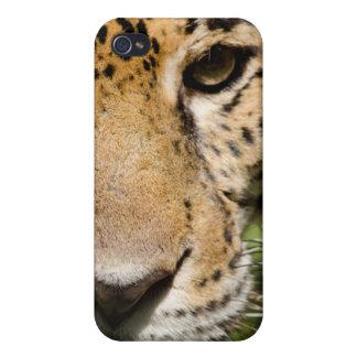 Captive jaguar in jungle enclosure cover for iPhone 4