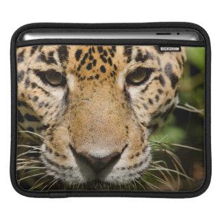 Captive jaguar in jungle enclosure iPad sleeve