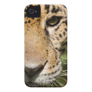Captive jaguar in jungle enclosure iPhone 4 Case-Mate case