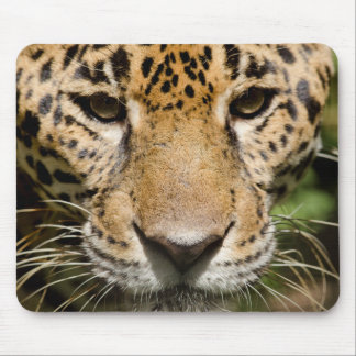 Captive jaguar in jungle enclosure mouse pad