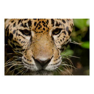 Captive jaguar in jungle enclosure poster