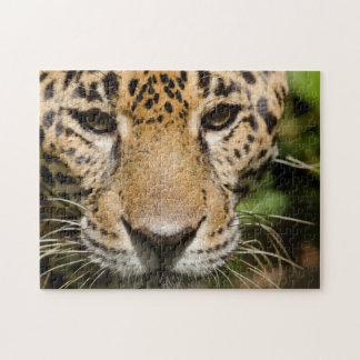 Captive jaguar in jungle enclosure puzzles