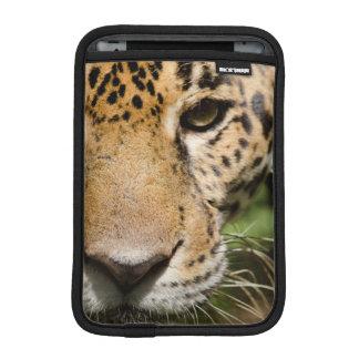 Captive jaguar in jungle enclosure sleeve for iPad mini