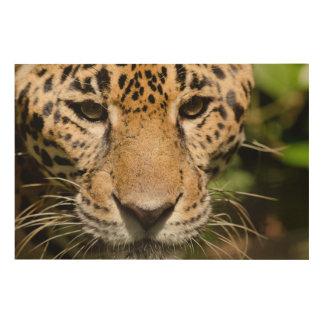 Captive jaguar in jungle enclosure wood print
