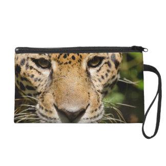 Captive jaguar in jungle enclosure wristlet purse