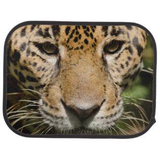 Captive jaguar in jungle enclosure car mat