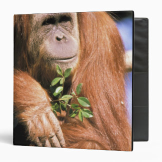 Captive orangutan, or pongo pygmaeus. 2 3 ring binder