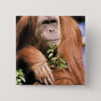 Captive orangutan, or pongo pygmaeus. 2 button