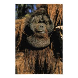 Captive orangutan, or pongo pygmaeus. 2 photo print