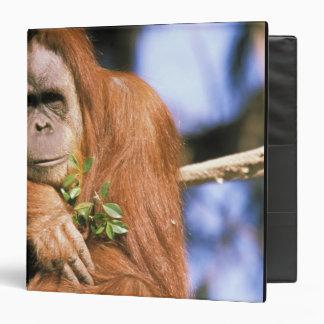 Captive orangutan, or pongo pygmaeus. 3 binder