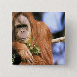 Captive orangutan, or pongo pygmaeus. 3 button