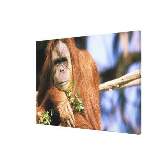Captive orangutan, or pongo pygmaeus. canvas print