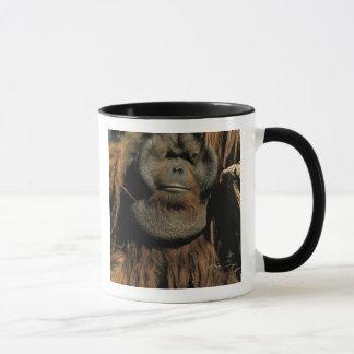Captive orangutan, or pongo pygmaeus. mug