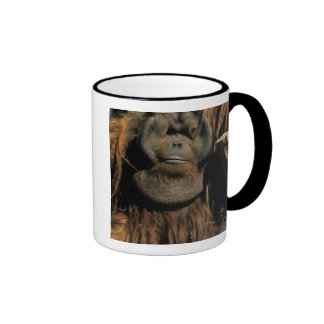 Captive orangutan or pongo pygmaeus mugs
